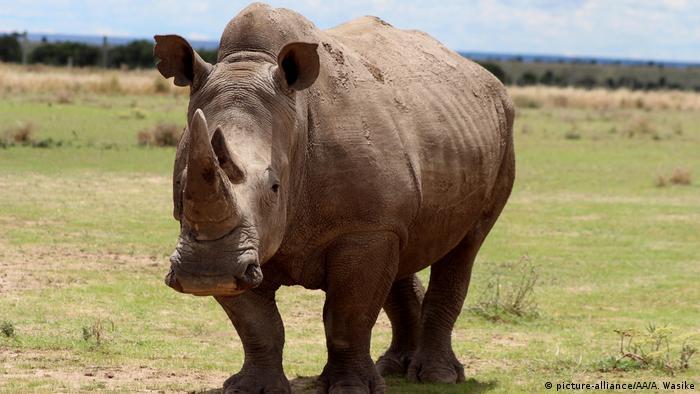 Sudán, el último rinoceronte blanco del norte.