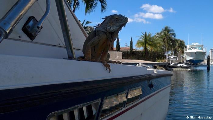 Iguana auf einem Boot