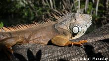 An adult iguana relaxing on a tree branch. Miami, Florida. Photo by Niall Macaulay.