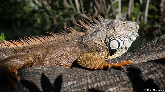 An adult iguana relaxing on a tree branch. Miami, Florida. Photo by Niall Macaulay. (Niall Macaulay)