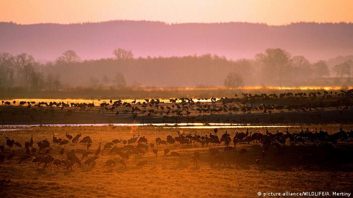 O lago Hornborga, com pássaros, de manhã