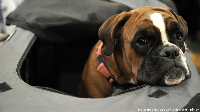 Ein Boxer (picture-alliance/dpa/RIA Novosti/M. Blinov)