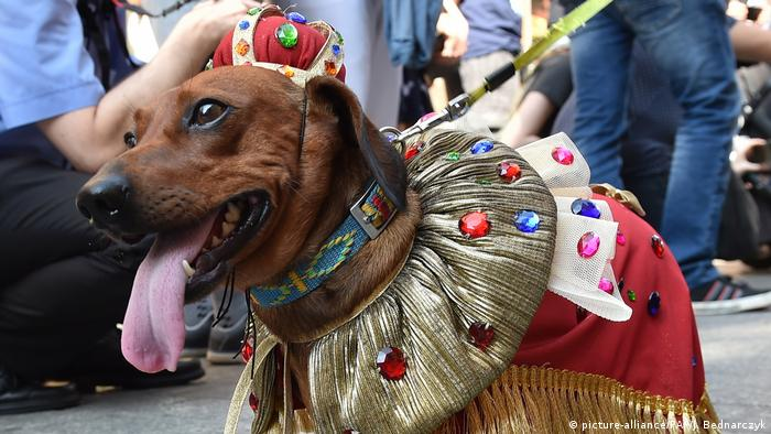 A dachshund wearing a crown and a jeweled cape walks down the street as part of a parade (picture-alliance/PAP/J. Bednarczyk)