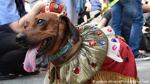 A Dachshund with his owners taking part in the the annual 23. Dachshund Parade in Krakow, Poland