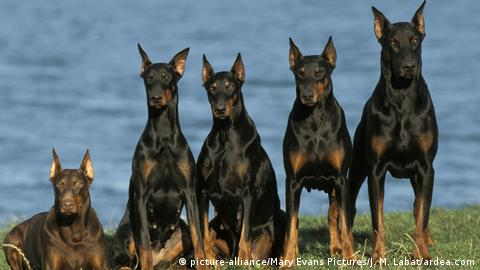 Doberman Pinscher Dogs - Row of 5 sitting next to water