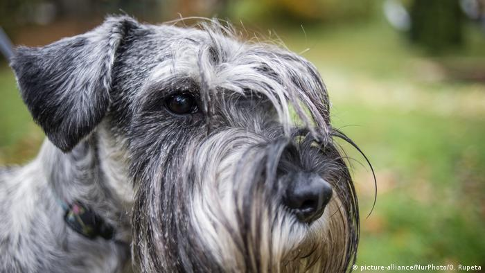 A schnauzer at a dog festival and competition dedicated to World Animal Day is celebrated in Kyiv, Ukraine
