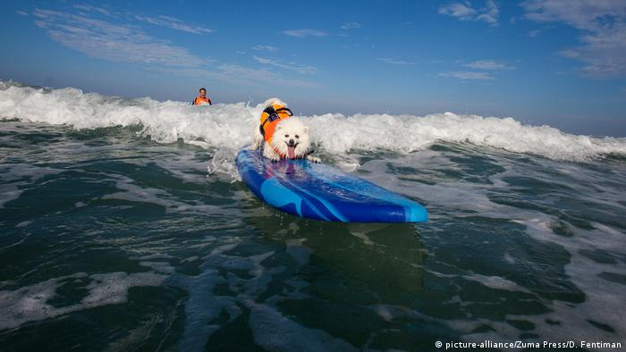 An American Eskimo Toy dog surfing