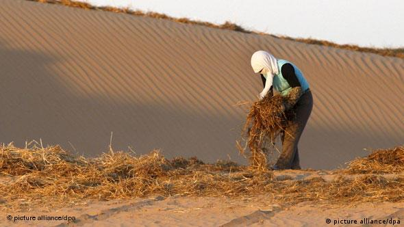 A worker builds biological barriers using hay to create grid patterns that stabilize sand dunes