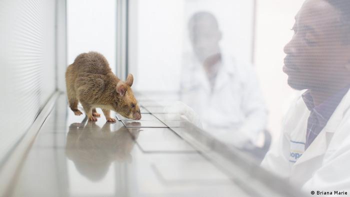 """""""Isaac"""", la rata husmeadora, es puesta a prueba por el entrenador Sezirahiga Dario (Crédito de la imagen: © Briana Marie)."""