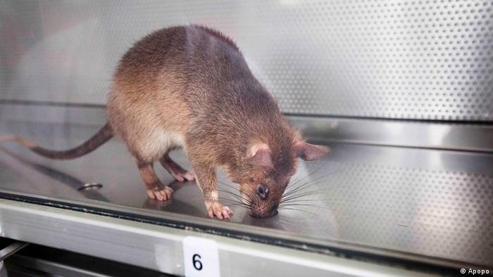 A sniffer rat sticks its nose into a hole in the metal floor of a glass cage