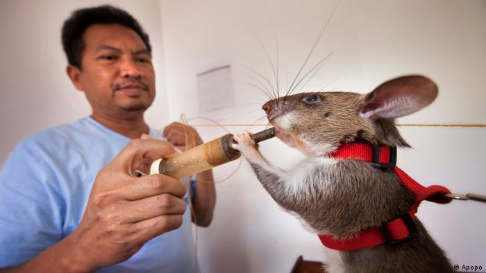 A sniffer rat drinks from a syringe held by a man