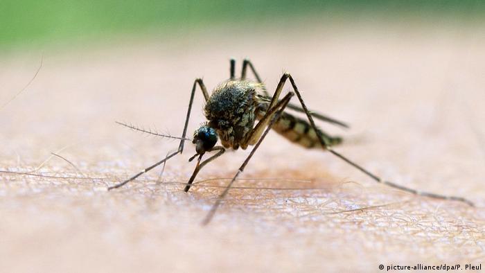 Mücke Malaria (picture-alliance/dpa/P. Pleul)