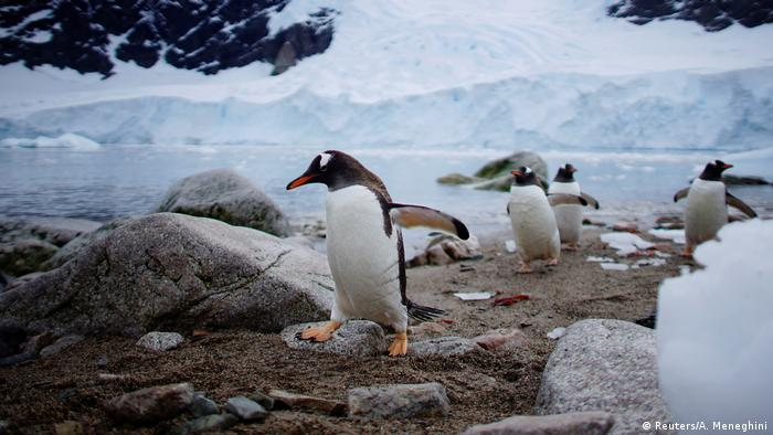 Gentoo penguins waddle across an ice-free spot on the shore of Cuverville Island in Antarctica (Reuters/A. Meneghini)