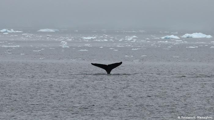 A whale surfaces near a research ship in Antarctica (Reuters/A. Meneghini)