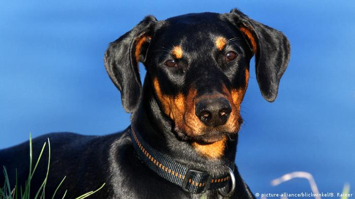 Dobermann (picture-alliance/blickwinkel/B. Rainer)