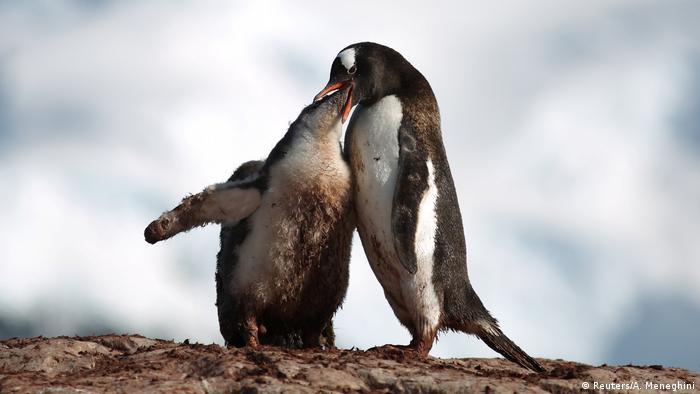 Ein Pinguin-Kücken frisst aus dem Schnabel eines Elternteils