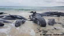 Stranded whales in Hamelin Bay (Reuters/L. Hollowood)
