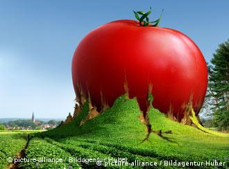 Montage of a huge tomato growing out of green farmland