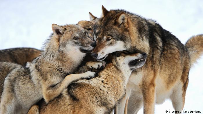 European wolves huddling together
