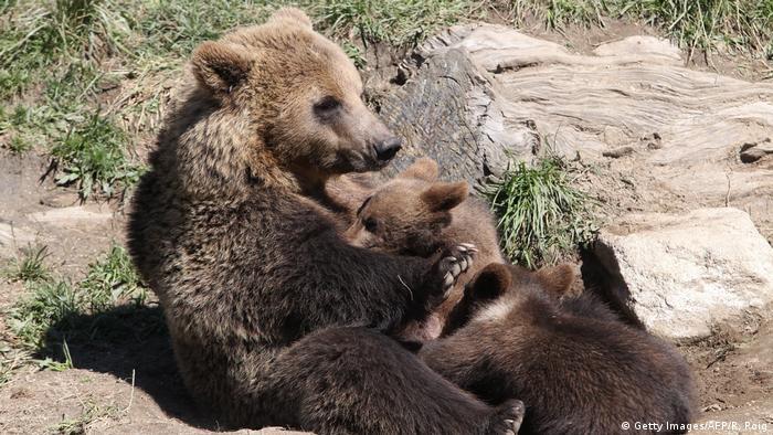 European brown bear cubs playing