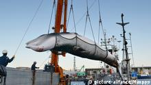 ARCHIV *** ©Kyodo/MAXPPP - 05/09/2017 ; A minke whale is landed at a port in Kushiro on Japan's northernmost main island of Hokkaido on Sept. 4, 2017, the day research whaling in the Northwest Pacific started. The whaling season will continue through late October. (Kyodo) ==Kyodo Foto: MAXPPP |