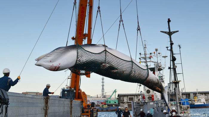 Japan Walfang Minkwal wird verladen (picture-alliance/Maxppp)