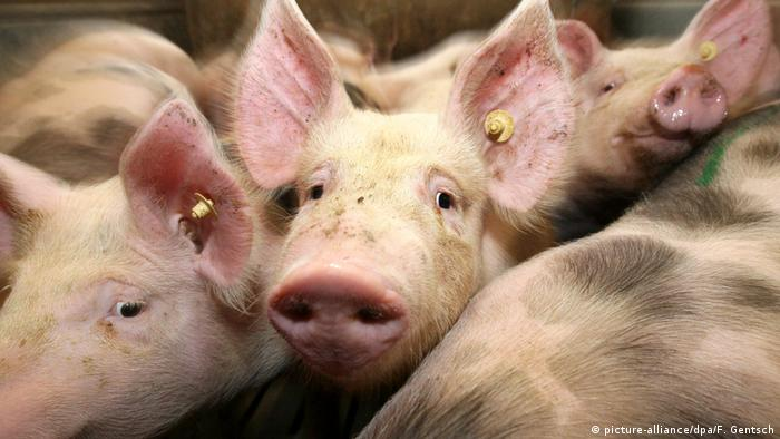 Close-up of pigs (picture-alliance/dpa/F. Gentsch)
