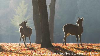 Japan Rehe im Nara-Park (picture-alliance/dpa/Everett Kennedy Brown)