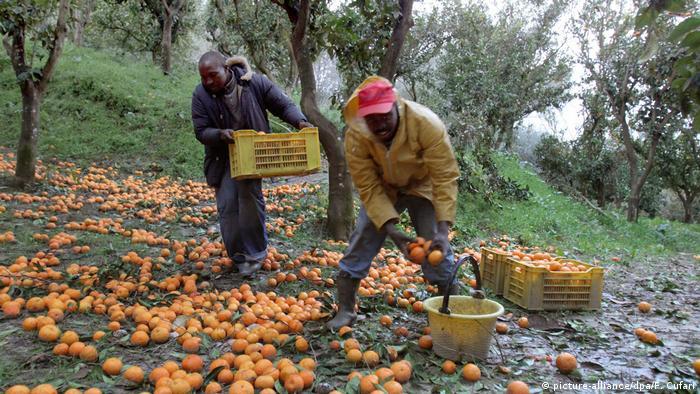 Das dreckige Geschäft mit Mafia-Orangen (picture-alliance/dpa/F. Cufari)