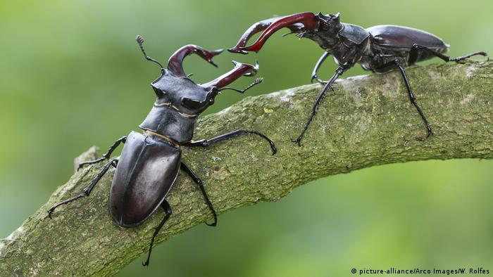 Stag beetles in Germany (picture-alliance/Arco Images/W. Rolfes)