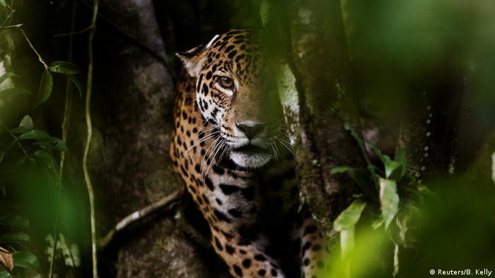 A jaguar peers out through dense vegetation, looking towards the camera (Reuters/B. Kelly)