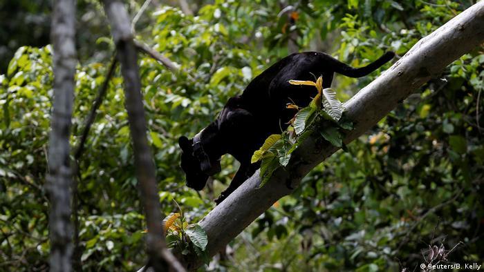 Un jaguar bajando de un árbol en un bosque espeso.