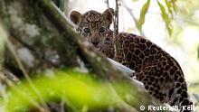 Jaguare in Brasilien