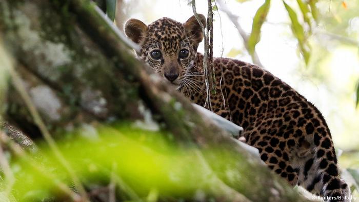 Filhote de onça se esconde atrás de árvore
