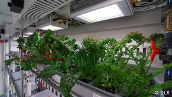 Greens grow in the EDEN-ISS greenhouse in Antractica (DLR)
