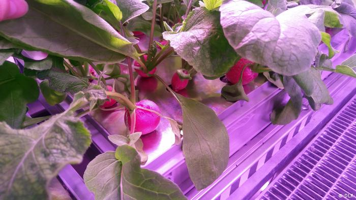 Radishes growing in the greenhouse in Antarctica (DLR)