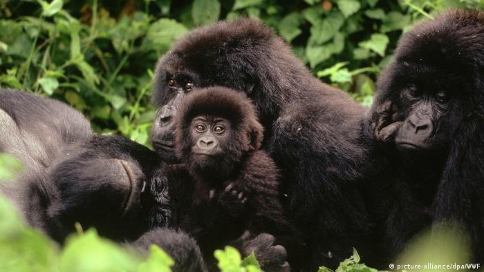 Una familia de gorilas de montaña salvajes.