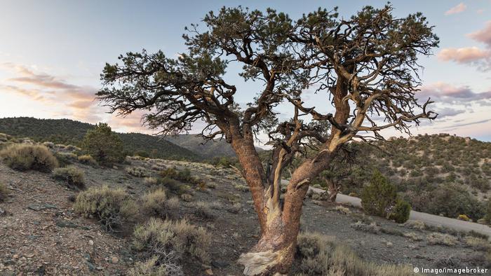 Old Pinyon Pine in heathland at dusk