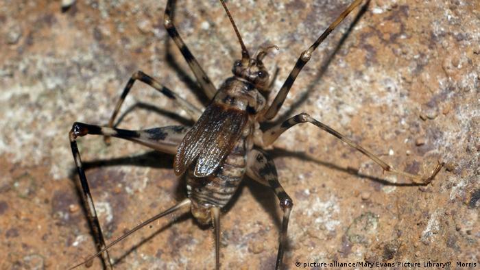 Close up: A Cave Cricket