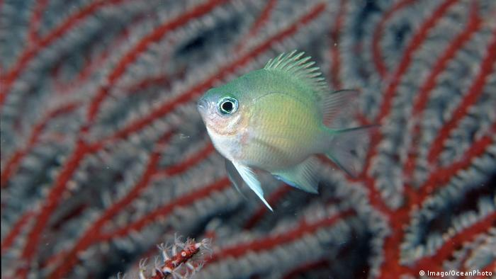 Spiny chromis in front of a red sea plant