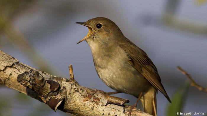 a nightingale opens its beak wide