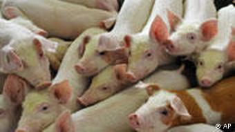 About 12 piglets standing in a pigsty of an agriculture firm
