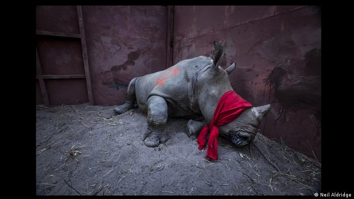 a blindfolded white rhino that will be released into the wild in Botswana