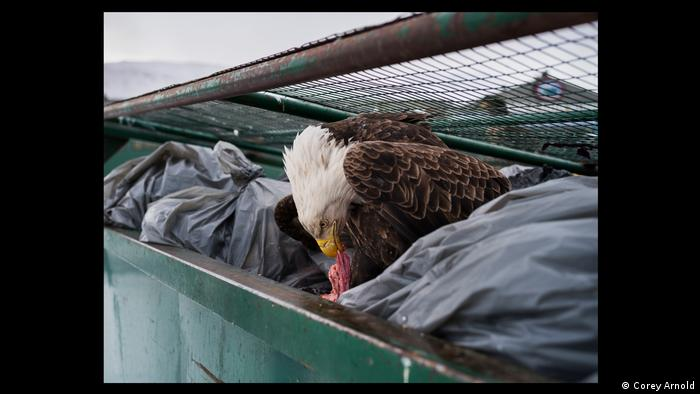 a bald eagle feasting on meat scraps in the garbage bins of a supermarket in Dutch Harbor, Alaska (Corey Arnold)