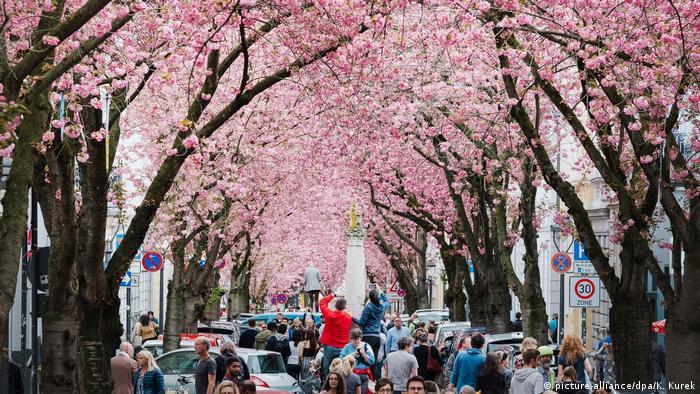 Almanya'nın eski başkenti kiraz çiçekleri ile baharı selamladı