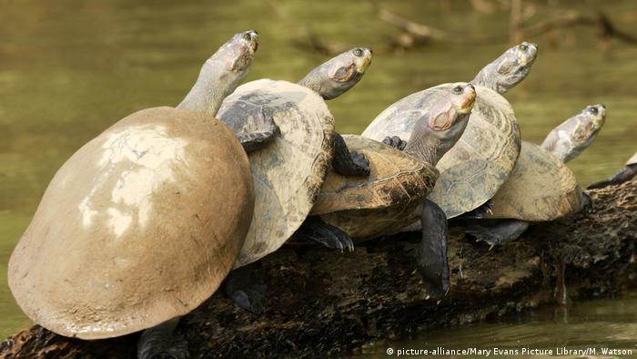 Peru Flussschildkröten auf den Amazonas