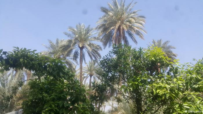 Palmen Katastrophe im Irak ( المانيا اليوم/Samir)