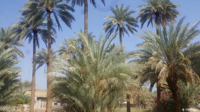 Palmen Katastrophe im Irak (DW/Samir)