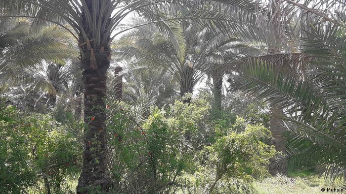 Palmen Katastrophe in Irak (Muhsin)