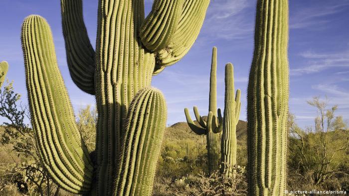 Giant cactus (Carnegiea gigantea) in the Sonoran Desert